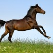 Stock Photo: Bay trakehner horse in field