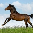 Bay trakehner horse in field — Stock Photo #1530010