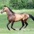 Buckskin Akhal-teke stallion running — Stock Photo