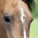 Portrait of buckskin Akhal-teke stallion — Stock Photo #1534071