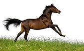 Bay trakehner horse in field — Stock Photo