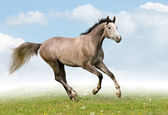 Gray trakehner horse in field — Stock Photo