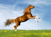 Chestnut bavarian horse in field — Stockfoto