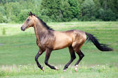 Buckskin Akhal-teke stallion running — Stock Photo