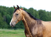 Portrait of buckskin Akhal-teke stallion — Stock Photo