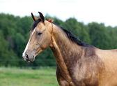 Portrait of buckskin Akhal-teke stallion — Stock Photo