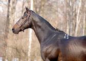 Portrait of dark bay trakehner horse — Stock Photo