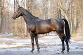 Stud of dark bay trakehner horse in park — Stock Photo