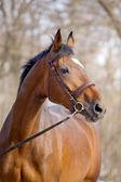 Portrait of bay trakehner horse — Stock Photo
