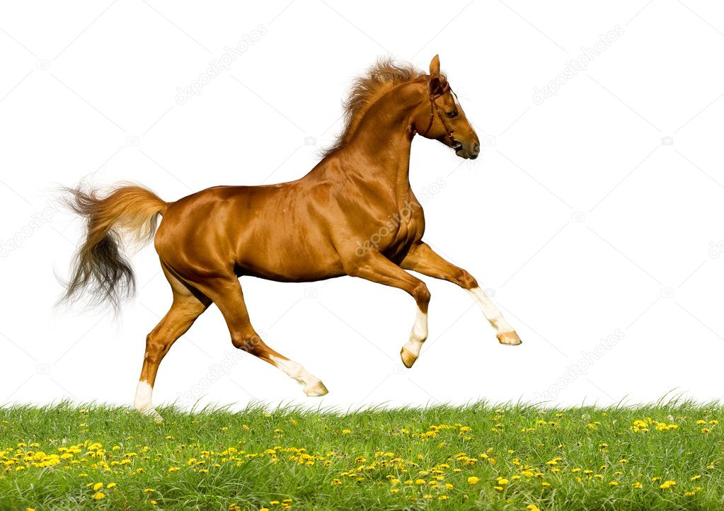 Chestnut bavarian horse galloping and isolated on white background — Stock Photo #1530021