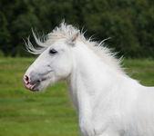 Portrait of gray shire in field — Stock Photo