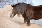 Portrait of bay horse in sawdust — Stock Photo