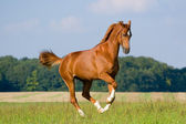Chestnut bavarian horse in field — Stock Photo