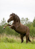 Bay horse playing in field — Foto Stock