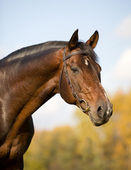 Bay budenny horse in field — Stock Photo