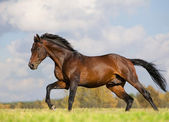 Bay budenny horse running in field — Stockfoto