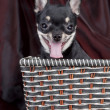 Сhihuahua dog in the basket — Stock Photo #1554697