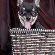 Royalty-Free Stock Photo: Сhihuahua dog in the basket