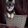 Сhihuahua dog in the basket — Stock Photo