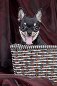 Сhihuahua dog in the basket — Stockfoto