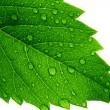 Green leaf — Stock Photo #1286062