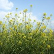 Stock Photo: Field of yellow flowers