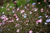 Ein feld von rosa und blaue vergissmeinnicht-blumen. — Stockfoto