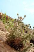 Uma imagem de immortelle crescendo através de montanhas. — Foto Stock