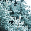 Blue Spruce — Stock Photo #1300838