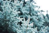 Blue spruce — Stockfoto
