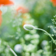 Poppy bud — Stock Photo
