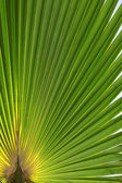 Palm tree sheet — Stock Photo