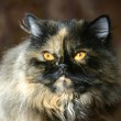 Persian сat  tortoiseshell color - Stock Photo