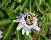 Flower passiflora — Stock Photo