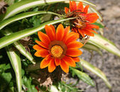 Flower Gazania — Stock Photo