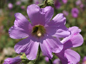 Malva flower — Stock Photo