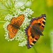 Two beautiful butterflies — Stock Photo #1325012