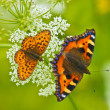 Two beautiful butterflies — Stock Photo