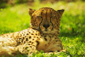 Leopard rests and warms in the sun — Stock Photo