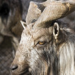 Ibex — Stock Photo #1344178