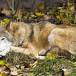 Stock Photo: Gray wolf