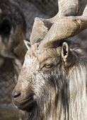 Portrait of a mountain goat with big horns — Стоковое фото