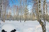 Winter Birch Grove — Stock Photo