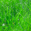 Young green grass with dew drops - Stock Photo
