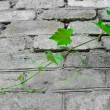 Stock Photo: Grapevine against a grey brick wall