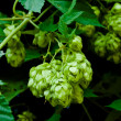 Cones of green hop on a branch - Stock Photo
