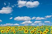 Bright field of sunflowers — Stock Photo