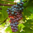 Ripe juicy cluster of grapes — Stock Photo