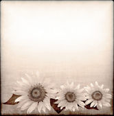 Gray background with sunflower — Stock Photo