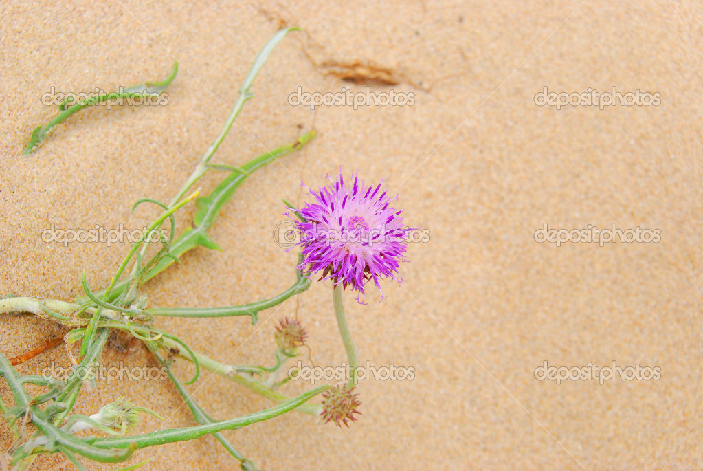 Gentle violet flower among sand — Stock Photo #1946597